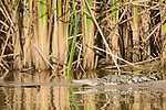 Monkey River, Belize, Central America; an American Crocodile (Crocodylus acutus) lies in the sand at the edge of the Monkey River with its reflection visible on the waters surface , Copyright © Matthew Meier, matthewmeierphoto.com All Rights Reserved