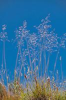 Deschampsia cespitosa, tufted hairgrass California native grass in Sierra meadow against blue sky