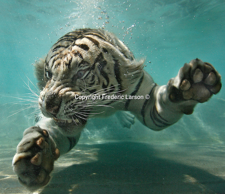 Odin, a six-year-old male white Bengal tiger cools off from the heat wave as he swims underwater in his pool at Six Flags Discovery Kingdom in Vallejo, California. Odin is one of the few tigers in the world that submerges like this, closing his nostrils and folding his ears down when he dives.