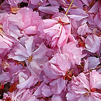 Fallen Blossoms, Prospect Park, Brooklyn, 2004 archival pigment on canvas. 32x32  edition of 25 signed  $1000 print $800