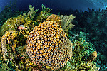 12 June 2014: A colony of Star Coral (Montastraea cavernosa) is seen on the reef at Conch Pointe, on the North Shore of Grand Cayman Island. Located in the British West Indies in the Caribbean, the Cayman Islands are renowned for excellent scuba diving, snorkeling, beaches and banking.  Mandatory Credit: Ed Wolfstein Photo *** RAW (NEF) Image File Available ***