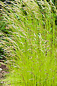 Deschampsia flexuosa 'Tatra Gold', late May. An evergreen grass with slender, bright yellow-green leaves and airy, pale bronze flower panicles in early summer.