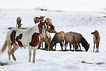 Horses in a pasture in winter put up with deer and elk eating their hay in western Montana