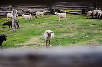 A Navajo Churro inside the sheep pen at Irene's cabin.