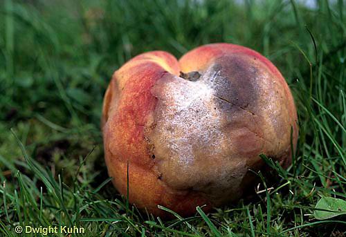 DC21-022e  Mold growing on peach - (decomposition of peach series: DC21-018e,019d,021d, 022e)
