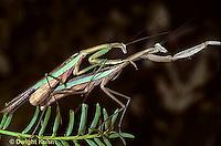 1M35-001h  Praying Mantis adults male and female mating - Tenodera aridifolia sinenesis  © Dwight Kuhn