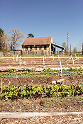 Durham, North Carolina - Wednesday March 30, 2016 - An Encore lettuce mix grows in the garden at the HUB Farm in Durham.