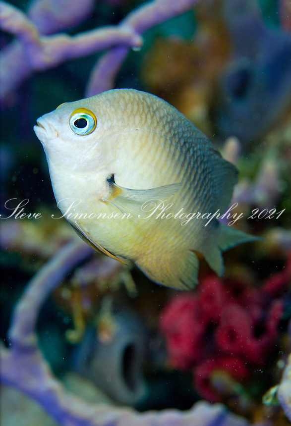 Threespot  Damselfish (Stegastes planifrons).U.S. Virgin Islands