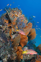 QT0109-D. Mexican Hogfish (Bodianus diplotaenia) swim along colorful reef with sea fans (Pacifigorgia sp.) and gorgonians. Baja, Mexico, Sea of Cortez, Pacific Ocean.<br /> Photo Copyright &copy; Brandon Cole. All rights reserved worldwide.  www.brandoncole.com