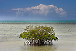 Mangrove, Ambergris Cay Island, Turks and Caicos Islands
