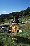 Golden retriever with doggy backpacks, Holy Cross Wilderness, White River National Forest, Colorado