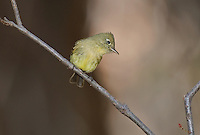530040009 a wild cordilleran flycatcher empidonax occidentalis perches on a dead branch on mount lemmon near tucson arizona united states