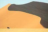 Ostrich (Struthio camelus)  walking among hugh sand dunes in the Namib Desert, Namibia.