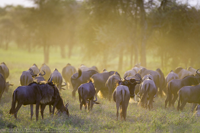 Wildebeest migration, Serengeti National Park, Tanzania, East Africa