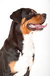 Greater Swiss Mountain Dog, Portrait, studio