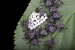 Most likely a Black Cherry Aphid (Myzus cerasi) , a large aphid with a glossy, black body and the eggmass they hatched from.