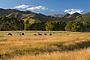Cattle grazing near Greytown, Wairarapa, New Zealand