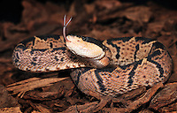 Blackheaded Bushmaster (Lachesis melanocephala). Captive.