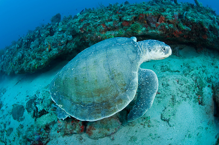 Ridley sea turtle lepidochelys kempii in photographed underwater