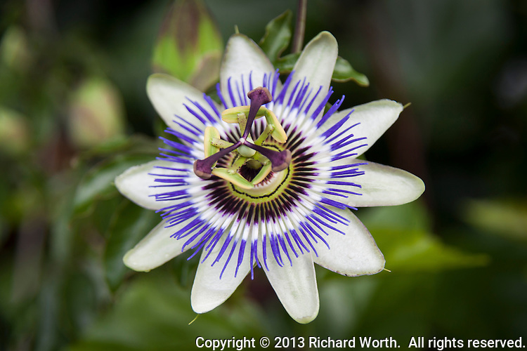 A blue crown passion flower with soft green background.