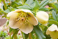Helleborus x hybridus - single yellow with spots hellebore
