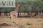 A Baby Kenyan Giraffe ,Giraffa camelopardalis tippelskirchi, Masai Mara Game Reserve, Kenya