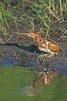 508730005 a wild adult female least bittern ixobrychus exilis sits by a pond at anahuac national wildlife refuge in texas