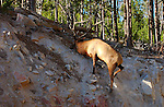 Elk Climbing Steep Slope, Gibbon River, Yellowstone National Park, Wyoming