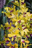 Dendrobium ThongChai Gold, yellow with purple lip, hybrid of Jiad Gold x Madame Uraiwan, 1992 cross