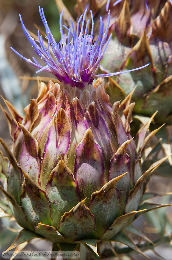 A thistle just starting to form a purple flower that I found growing in Crystal Cove State Park.