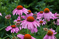 Painted Lady butterfly (Vanessa cardui) on a Purple Coneflower (Echinacea purpurea)