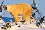 Only a few days out of their insulated, deeply dug den, these polar bear cubs are experiencing being outdoors for the first time while their mother watches the surroundings carefully, Churchill, Manitoba, Canada.