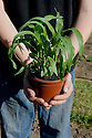 Planting out sweetcorn seedlings, late May.