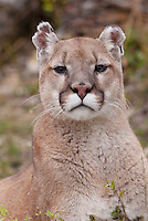 Mountain Lion Portrait - CA