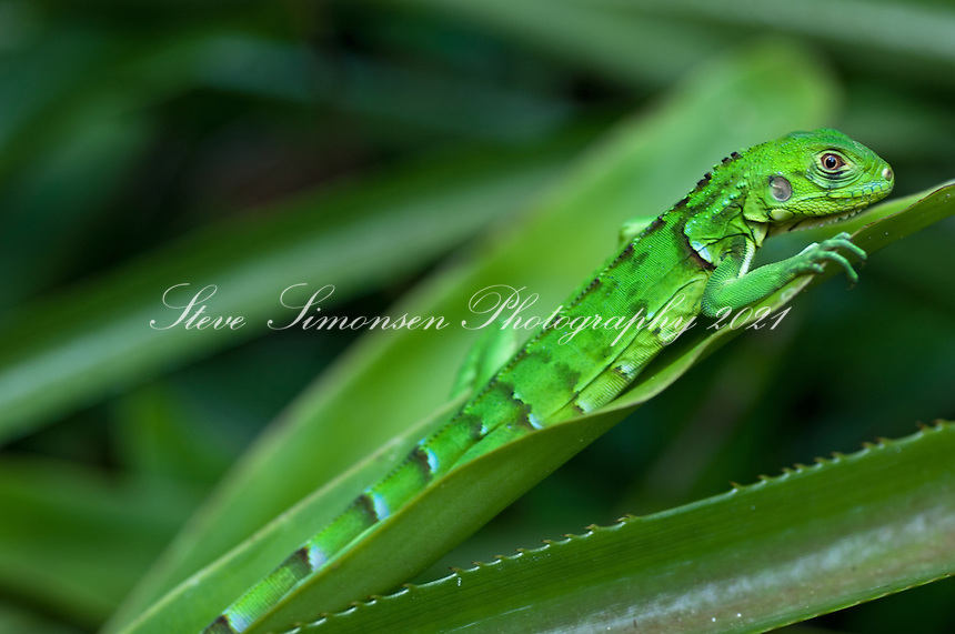 Juvenile Green Iguana<br /> Virgin Islands