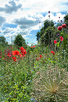 Cottage style garden with blue sky and clouds, red poppies, Allium christophii ornamental onion, Nigella, penstemon flowers, green Euphorbia
