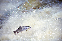 A RAINBOW TROUT (STEELHEAD) LEAPS IN THE SILVER FALLS OF THE SILVER RIVER NEAR L'ANSE MICHIGAN DURING THE SPRING SPAWNING SEASON.