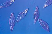 Ciliated Protozoans Paramecium. LM X100
