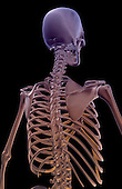 A posterolateral view (right side) of the bones of the upper body. Royalty Free