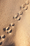 Track of a sand rat (psammomys obesus) in the Sahara desert of Morocco.