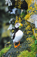Horned Puffin with nesting grass in beak, St. Paul Island, Pribilof Islands, Alaska.