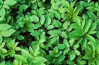 Giersch, Geißfuß, Geissfuss, essbare, junge Blätter, Aegopodium podagraria, Bishop´s Weed, Grounde Elder