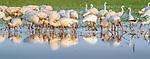 Central Africa , African spoonbill (Platalea alba)