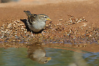 578800209 a wild juvenile house sparrow passer domesticuspauses for a drink at a small pond in green valley arizona