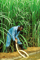 Sugar cane plantation, East Africa.  Worker using simple siphon to irrigate the crop..