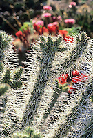 White spine cactus back-lit, Cylindropuntia whipplei 'Plateau Cholla'
