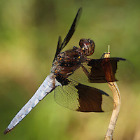 It has two black spots on each wing for a total of eight, and can be distinguished from the similar Twelve-spotted Skimmer by counting the spots.