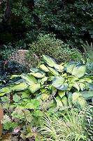 Hosta 'Bright Lights' in shade garden with foliage plants, Alumroot, Heuchera vilosa 'Purpurea' and Golden Variegated Sweet Flag.Acorus gramineus 'Ogon'