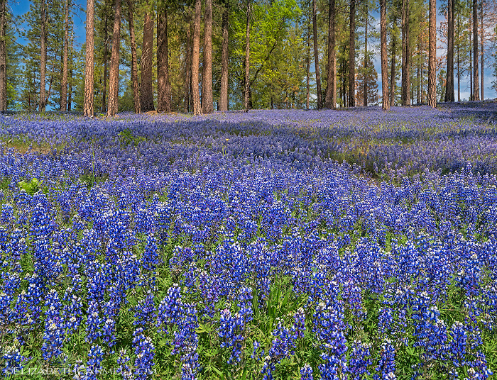 Forest Lupines