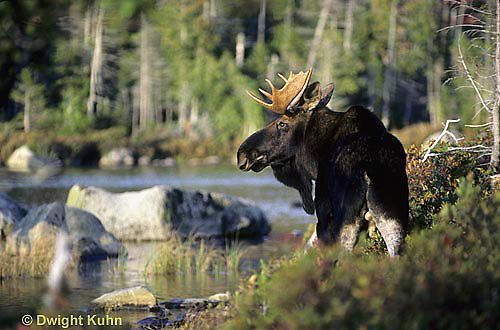 MS01-003x  Moose - bull (male) in Baxter State Park, Maine - Alces alces